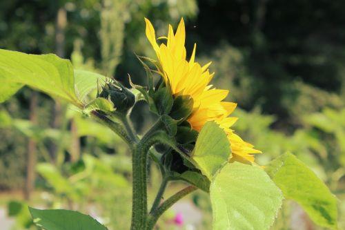 saulės gėlė,gėlė,vasara,žalias,lapai,laukas