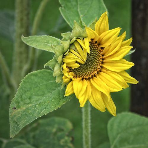 saulės gėlė,helianthus,augalas,geltona,helianthus annuus