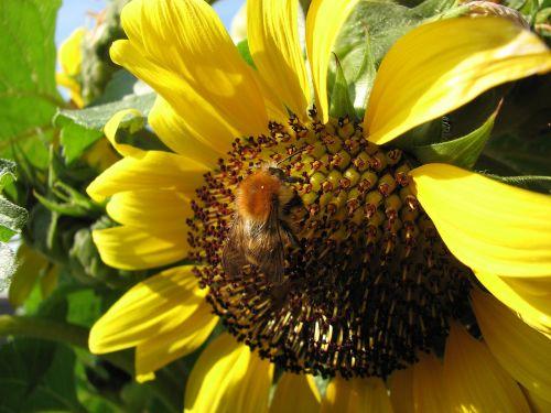saulės gėlė hummel,bičių,saulės gėlė,vasara,Hummel,apdulkinimas,žiedas,žydėti,gėlė,Uždaryti,geltona,gamta,žiedadulkės,makro,augalas,sodas,vabzdys,pavasaris,žydėti,pabarstyti,nuotaika,kolektorius