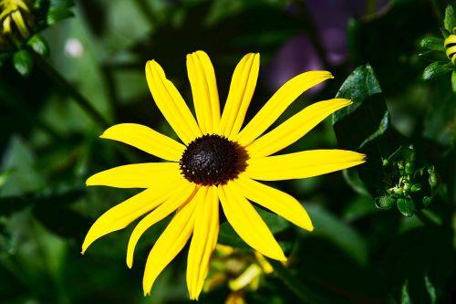 saulės skrybėlė,geltona,kompozitai,sodas