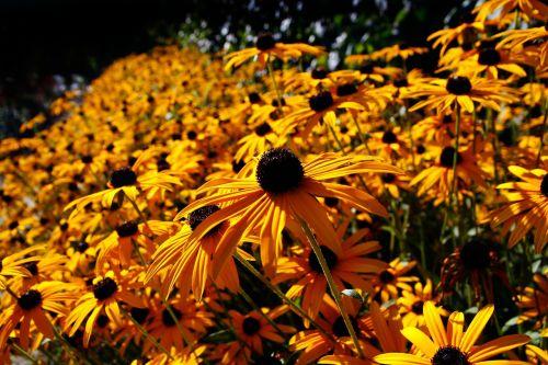 saulės skrybėlė,gėlė,paprastoji violetinė žievė,rudbeckia fulgida,saulės gėlė,gėlės,geltona,žiedas,žydėti,augalas,gamta