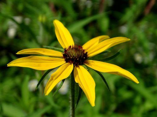 saulės skrybėlė,geltona ragana,trys laisvos skrybėlės,geltonos gėlės,kompozitai,šviečianti jautiena,rudbeckia triloba