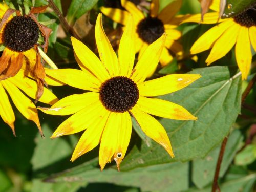saulės skrybėlė,paprastas sonnenhut,rudbeckia fulgida,geltona,saulėtas,žiedas,žydėti,gėlė,augalas,šviečianti jautiena,rudbeckia,Daisy šeimos,asteraceae,saulėtas geltonasis,šviesa