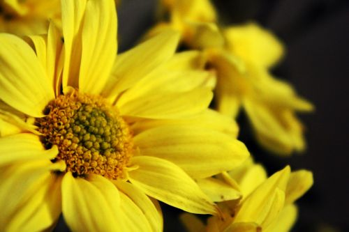 saulėgrąžos, žiedlapiai, gėlė, geltona & nbsp, gėlė, žiedadulkės, saulėgrąža
