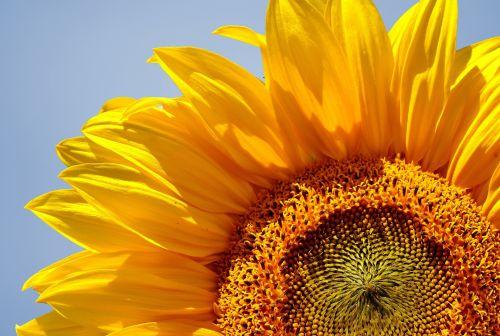 saulėgrąžos, gėlė, oranžinė, Uždaryti, Iš arti, detalės, žiedlapiai, mėlynas, dangus, fonas, flora, gėlių, žydėti, gamta, Laisvas, viešasis & nbsp, domenas, saulėgrąža