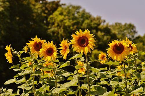 saulėgrąžos,bitės,vasara,sodas,žiedas,žydėti,geltona,vabzdys,helianthus,gamta,apdulkinimas,Uždaryti,žiedadulkės,makro,saulėtas,saulė,augalas,helianthus annuus,gėlė,sėklos