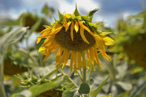 saulėgrąžos,gėlė,geltona,saulėgrąžų gėlė,vasara,sėklos,ekonominis augalas