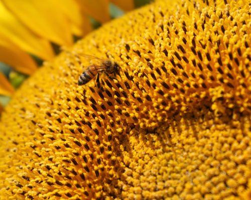 saulėgrąžos,gėlė,medaus BITĖ,bičių,bitininkystė,žiedadulkės,geltona,vabzdys,vasara,apdulkinimas,Apiarist,bitininkystė