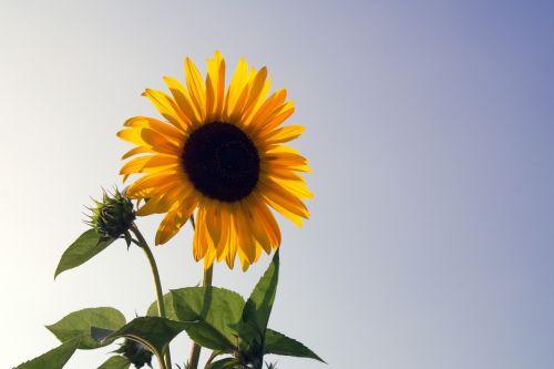 saulėgrąžos,gėlė,geltona,dekoratyviniai saulėgrąžai,sodas,žydinčios saulėgrąžos,saulėgrąžos,žydėti,augalas,gamta,derliaus šventė