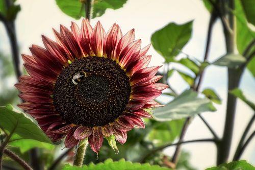 saulėgrąžos,gėlė,vasara,geltona,tapetai,fonas,sodas,saulė,pasėlių,lapija,žiedadulkės,sėklos,aliejus,vabzdys,kamanė