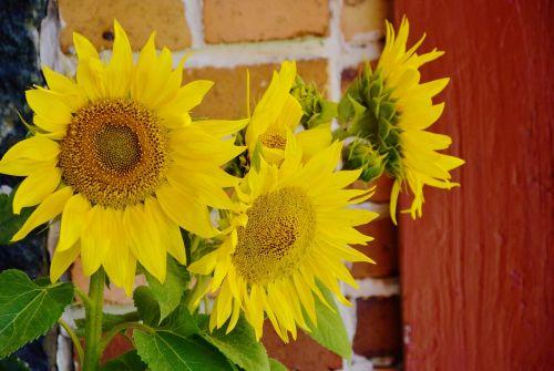 saulėgrąžos,helianthus annuus,paprastoji saulėgrąža,Uždaryti,helianthus,geltona,vasara,žiedas,žydėti,siena