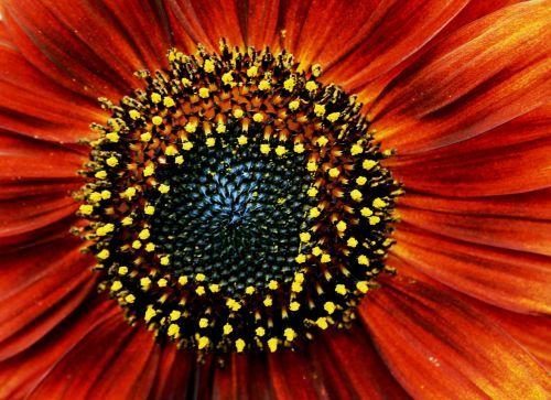 saulėgrąžos,raudona,oranžinė,žiedadulkės,geltona,dėmės,juodai rudos sėklos,žiedlapiai,koncentrinis,saulė,šviesus,apvalus,vasara