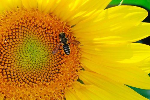 saulėgrąžos,bičių,išplistų,vabzdys,gėlė,apdulkinimas,gamta,apdulkinimas,flora