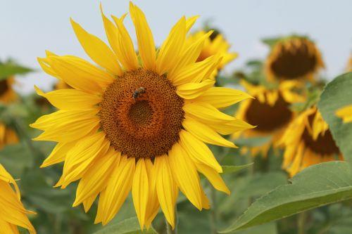 saulėgrąžos,vasara,saulėtas,geltona