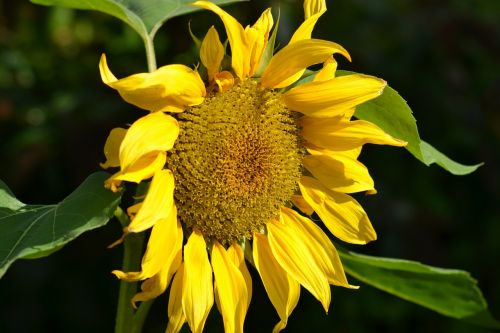 saulėgrąžos,geltona,gėlė,helianthus annuus,augalas,vasara,saulės šviesa