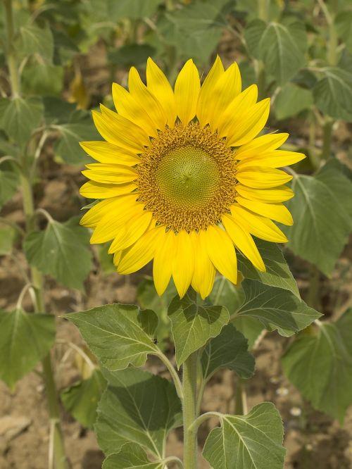 saulėgrąžos,gėlė,vamzdžiai,augalas,gamta,geltona gėlė,žiedadulkės