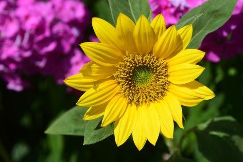 saulėgrąžų, žiedas, žydi, geltona, geltonai rožinė, kompozitai