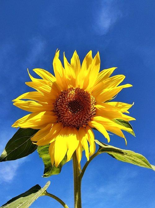 saulėgrąžų, dangus, gražus, žiedas, žydi, žavus, rinkliava, graži, šviesus, mėlynas dangus, žydi, žydi, geltona, Iš arti, portretas