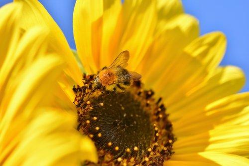 saulėgrąžų, HUMMEL, vabzdys, pabarstyti, žiedadulkės, žiedas, žydi, šviesus, geltona, gėlė, floros, žydi, augalų, gamta