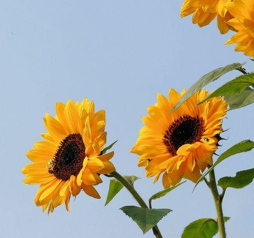 saulėgrąžos,gėlės,geltona,augalas,vasara,flora,struktūra,šviesus,žiedlapiai,helianthus,helianthus annuus