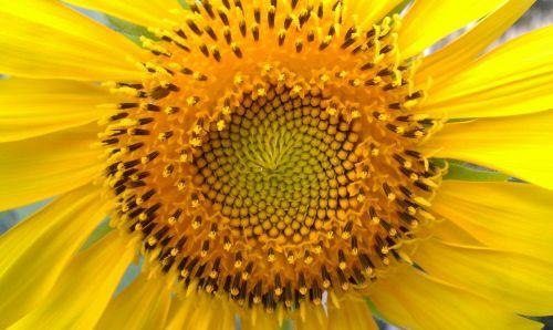 saulėgrąžos,saulėgrąžų sėklos,saulėgrąžos,saulėgražos sėkla,žiedlapiai,augalai,botanikos,geltona