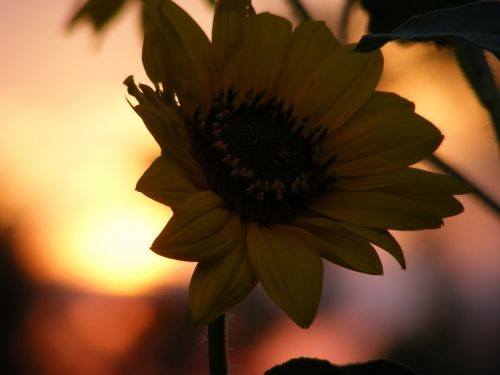 gamta, gėlė, gėlės, wildflower, laukinės vasaros spalvos, saulėgrąžos, saulėgrąžos, saulėgrąžos saulėlydžio