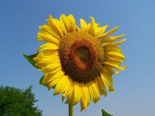 saulėgrąžų geltona,pasėliai,vasara