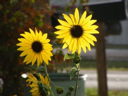 gamta, gėlė, gėlės, wildflower, laukinės vasaros spalvos, saulėgrąžos, saulėgrąžos, saulėgrąžos