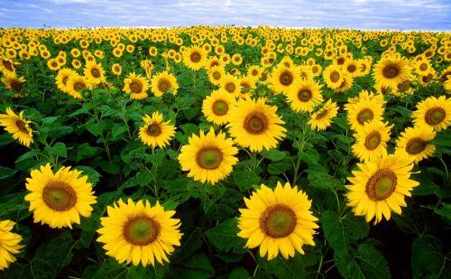 saulėgrąžos, gėlė, geltona, laukas, žydi, žiedai, viešasis & nbsp, domenas, tapetai, fonas, kraštovaizdis, žydėti, saulėgrąžos, saulėgrąžos