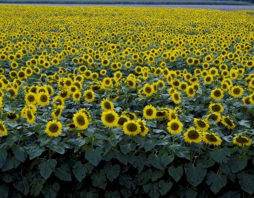 saulėgrąžos, gėlė, geltona, laukas, žydi, žiedai, šviesus, viešasis & nbsp, domenas, tapetai, fonas, kraštovaizdis, žydėti, saulėgrąžos, auga, saulėgrąžos