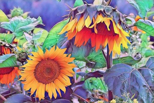 saulėgrąžomis, geltona, pobūdį, vasara, gėlė, žydi, augalų, žiedas, šviesus, floros, žiedadulkės, žiedlapiai, Sodas, spalvinga, lapai, spalva