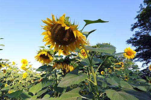 saulėgrąžos,didžiulė gėlė,geltona