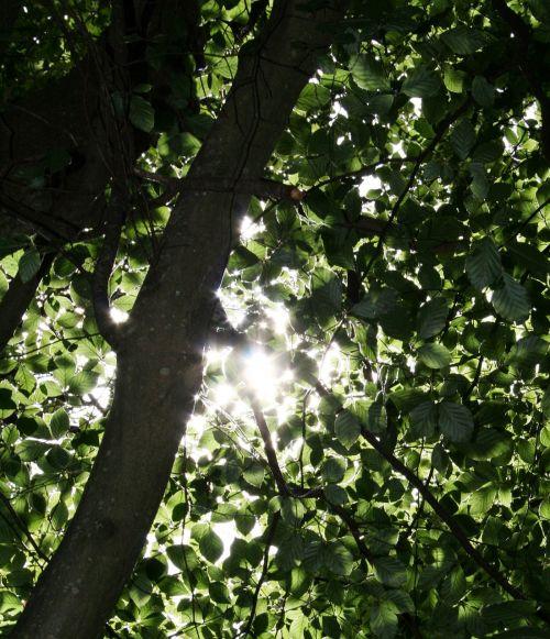 saulės šviesa,medžiai,dappled,gamta,miškas,saulė,žalias,natūralus,lapija,lauke,lapai,šviesa,saulės šviesa,sezonas,aplinka,diena