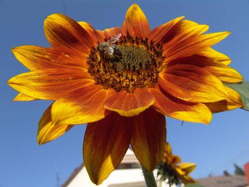 saulėtas,žiedas,žydėti,saulės gėlė,šviesus,oranžinė,geltona,vasara,gėlė,gamta,augalas,Uždaryti,saulėtas geltonasis,gėlių sodas,perspektyva,saulė,bičių