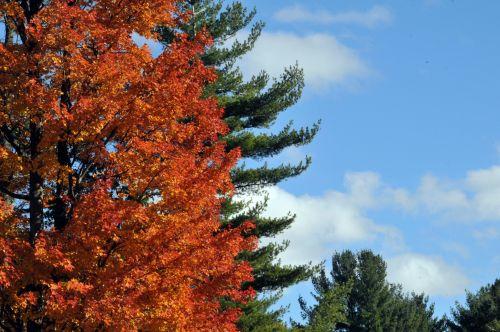 ruduo, kritimas, lapija, medis, medžiai, oranžinė, pušis & nbsp, medis, dangus, mėlynas, debesys, saulėtas, saulėtas rudens dangus