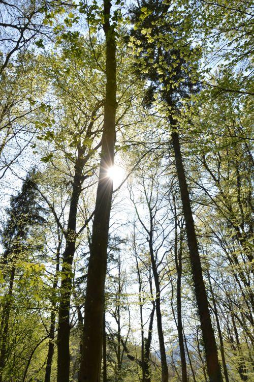 saulė, miškas, medžiai, medis, šviesa, saulėtas, saulės šviesa, saulė ir nbsp, spinduliai, saulėtas miškas