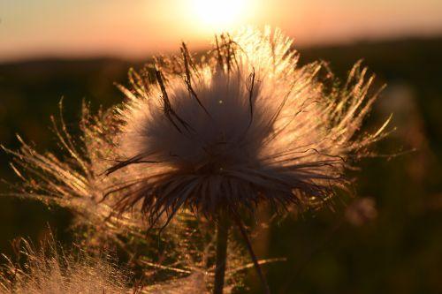 saulėlydis,skraidančios sėklos,atgal šviesa,Uždaryti,sėklos,gamta,lengvumas,vasara,saulės šviesa,aštraus gėlė,šviesa,afterglow,makro,išblukęs