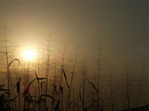 saulėlydis,dusk,augalai