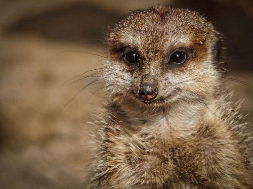 surykatka,zoologijos sodas,žinduolis,gyvūnas,gamta,zoologijos sodas,gyvūnai,meerkats,juokinga,naminis gyvūnėlis,Ugnis,alyvuogių aliejus