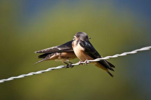 Lazdelės, Paukščiai, Fauna