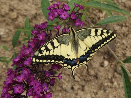 swallowtail,drugelis,drugelio sparnai,skraidantys vabzdžiai,sparnuoti vabzdžiai,geltona