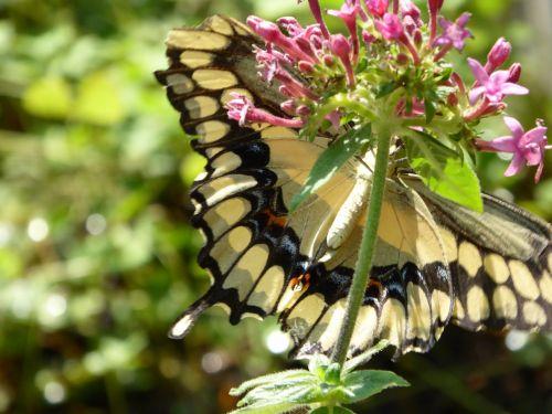 drugelis, drugeliai, swallowtail & nbsp, drugelis, dryžuotas, gėlė, pavasaris, klaida, vabzdys, lazdelės drugelis