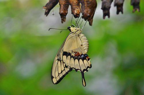 swallowtail drugelis,kokonai,lerva,lervos,vabzdžių lervos,makro,gamta,parides iphidamas,drugelis,papilionidae,drugeliai,kokoninis drugelis,papilio,gyvūnas
