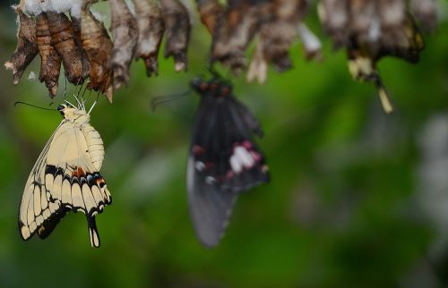 swallowtail drugelis,kokonai,lerva,lervos,vabzdžių lervos,makro,gamta,parides iphidamas,drugelis,papilionoidea,drugeliai,kokoninis drugelis,papilio,gyvūnas