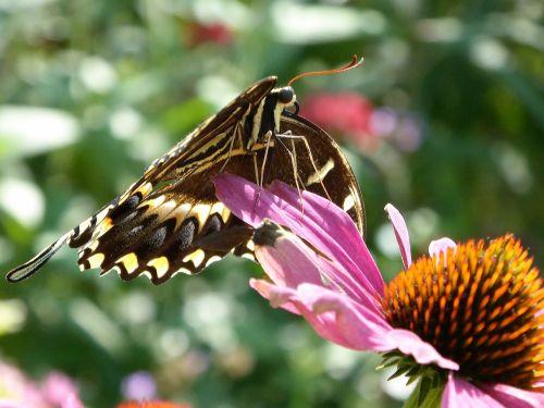 swallowtail & nbsp, drugelis, drugelis, drugeliai, gėlės, pavasaris, vabzdys, klaida, lazdelės drugelis ant gėlių