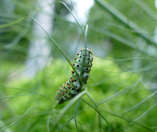 lazdelės vikšras,drugelis vikšras,plėtros etapas,vikšras