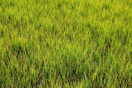 pelkė & nbsp, žolė, pelkė, pelkės, žalias, fonas, fonas, gamta, pelkė, lauke, vanduo, aplinka, natūralus, kraštovaizdis, ekosistemos, vaizdingas, šlapias, atogrąžų, florida, dykuma, pelkė, pelkė žolė