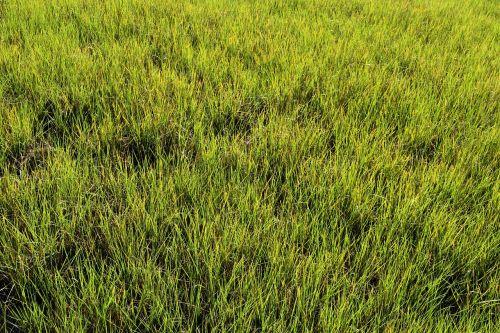 pelkė žolė,pelkė,pelkės,florida,fonas,fonas,pelkė,žolė,gamta,vanduo,kraštovaizdis,žalias,pelkė,aplinka,augalas,dykuma,lauke,laukiniai,scena,Nuotolinis,natūralus,vaizdingas,ganyklos