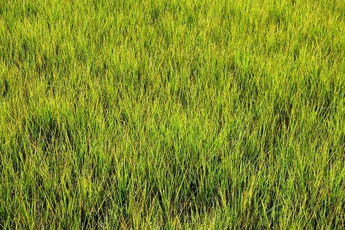 pelkė žolė,pelkė,pelkės,žalias,fonas,fonas,gamta,pelkė,lauke,vanduo,aplinka,natūralus,kraštovaizdis,ekosistemos,vaizdingas,šlapias,atogrąžų,florida,dykuma,pelkė