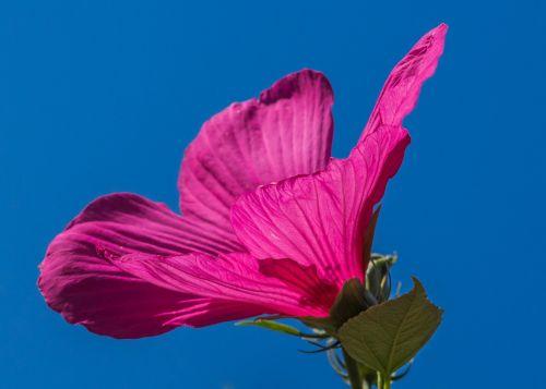pelkės hibiscus,rožinis,gėlė,hibiscus moscheutos,hibiscus,augalas
